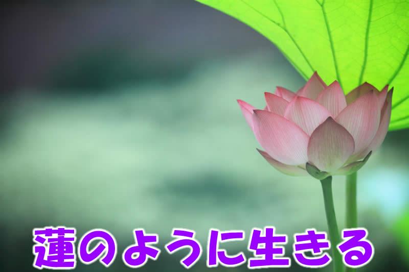 蓮の花ように生きる